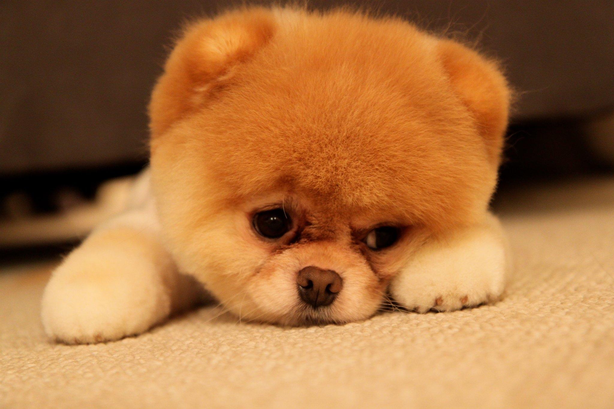 Boo-The-Dog-in-sad-mood-hd-wallpaper